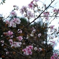 十月桜とツマグロヒョウモン