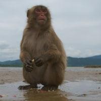 幸島のニホンザル/宮崎 Japanese Monkey in Miyazaki 2