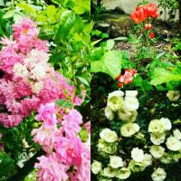 父の季節(薔薇の季節)