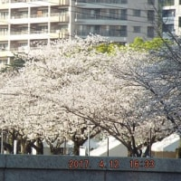 2017年の、桜(04月06日~)