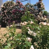 お家で作業と薔薇園
