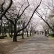 桜が満開です(*^。^*)