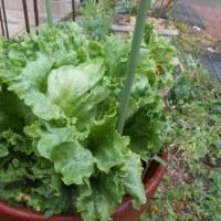 野菜がシャキシャキ! 野菜の力を引き出す「50℃洗い」