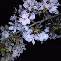 夜桜花見~