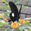 ジニア(百日草)とランタナに黒アゲハ蝶