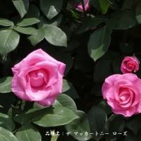 春バラ その9