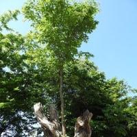 ちゃっかりさんの木
