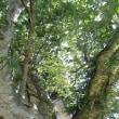 秋田県湯沢市 川連の朴の木(ホオノキ)