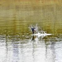 川面を叩くツバメさん