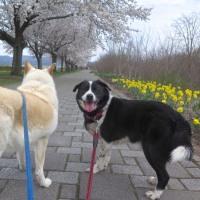 ソバとエルビスのお花見散歩