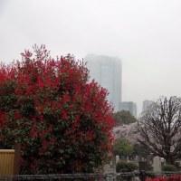 青山墓地の桜 2017