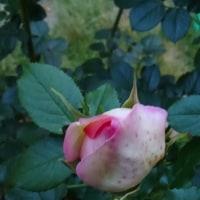 念願の薔薇コレクション!(つるピエール・ドゥ・ロンサール編)
