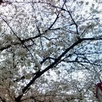 郡山城跡の桜
