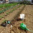 7月11日に播種したトウモロコシを植え付けました