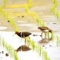 6/27探鳥記録写真-2(宮若市の鳥たち:ケリ、5年前のタマシギ)