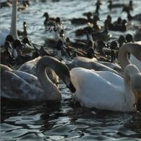 沼に憩う白鳥