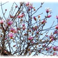 早春の花(^^♪こぶし咲くあの丘北国の ああ 北国の春 ♪ 「ピンクのこぶし(辛夷)」