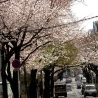 桜です^^満開です。