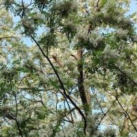 ニセアカシアの花が咲くころ