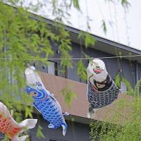 ハナミズキと鯉のぼり