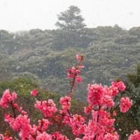 『春の雪』 高麗山麓