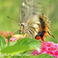 アゲハ蝶3