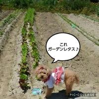 葱坊主いっぱいとラディッシュ初収穫♪