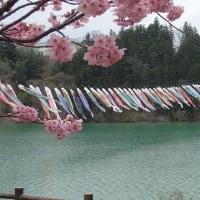 坂戸山のカタクリ・赤谷湖の鯉吊るし