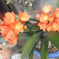 君子蘭(クンシラン)が咲きました。