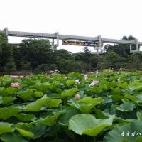 千葉公園のオオガハス
