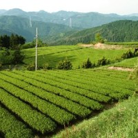 ―緑茶の残留農薬調査―