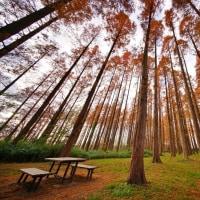 メタセコイアの紅葉(水元公園)