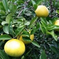 柑橘の予約が始まりますっ
