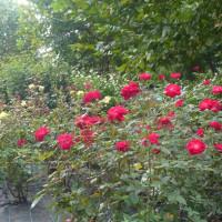 東公園の秋薔薇は~