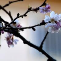 頑張れ!冬桜