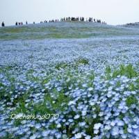 みはらしの丘(ネモフィラ) ~ 国営ひたち海浜公園