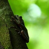 モリアオガエルの歌響き渡る森を歩く午後