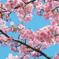 河津桜をハシゴする