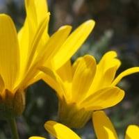 ユリオプスデージーの花