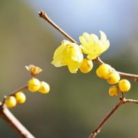 スイセン、ロウバイ、カワヅザクラ・・・(赤塚植物園)