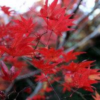 厭離庵の紅葉