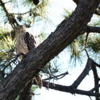 オオタカ 幼鳥・透けて見える翼