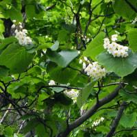 雨に咲くハクウンボク(白雲木)