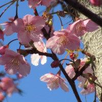 春一番(カワヅサクラ)