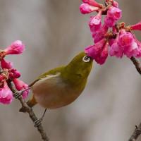 メジロは寒緋桜の蜜を吸う・ヤマガラは鳴き交わす