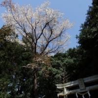 竹来の阿彌神社山櫻