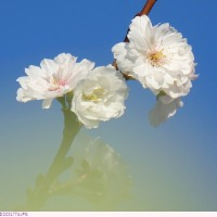 オオサカフユザクラ 〈大阪冬桜〉