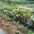 落花生の除草と土寄せ、潅水