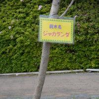 ジャカランダの木、公園で発見!