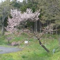 北上市国見山のエイザンスミレ(叡山菫) 2017年4月28日(金)